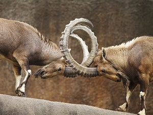 butting heads rams