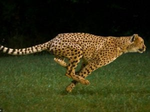 cheetah run speed fast quick predator animal wildlife